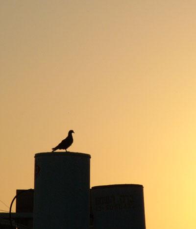 Tel Aviv Pigeon